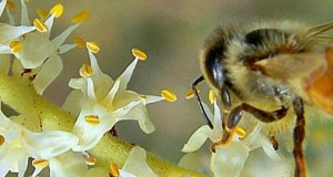 Bee Vital Manuka Honey Benefit
