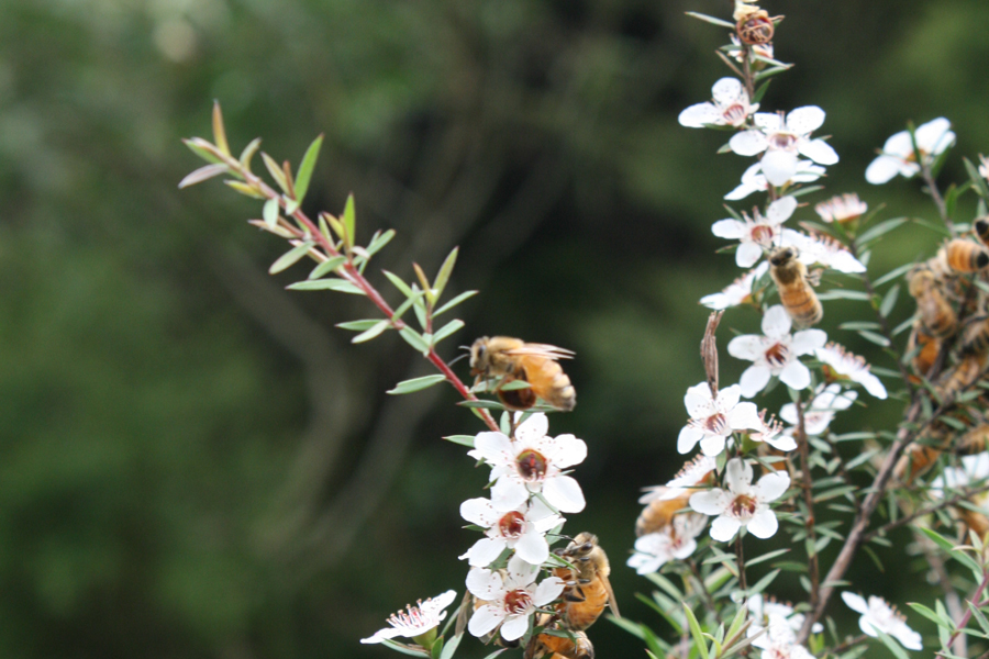 Manuka Honey Therapeutic Benefits