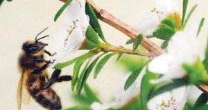 How To Apply Manuka Honey To MRSA